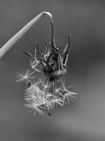 Dandelion Dandelion Seeds Transient Transience Taking Photos Macro Black And White Black & White Blackandwhite Bnw Bnw_collection Fragility From My Point Of View Nature On Your Doorstep Perspective Photography No People Close-up Close Up Perspectives Outdoors Nature Still Life Fine Art Fine Art Photography