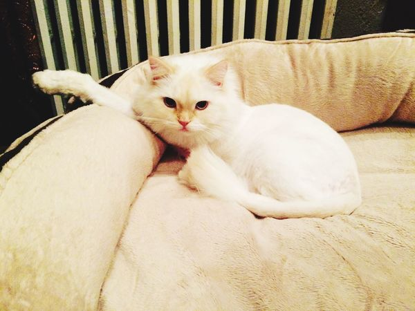 Justchillin Aristocats Lazycat Persian Cat  Mammal Relaxation Indoors