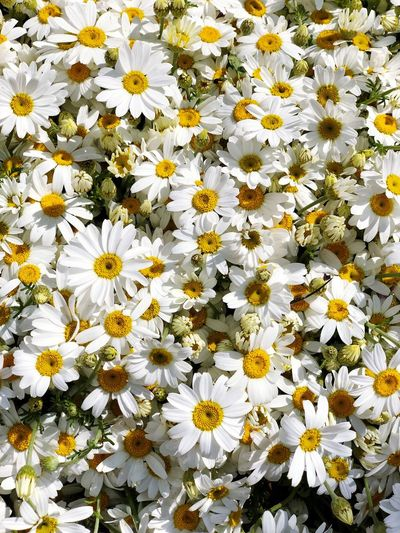 Flowering Plant Flower Vulnerability  Freshness Fragility Flower Head Inflorescence Petal Growth White Color Plant Yellow Beauty In Nature Daisy Close-up Nature No People Day High Angle View