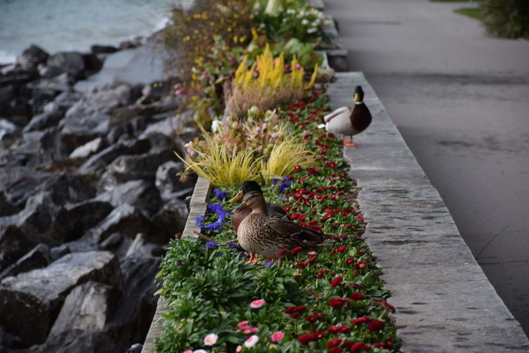 High angle view of mallard ducks on retaining wall with flowers