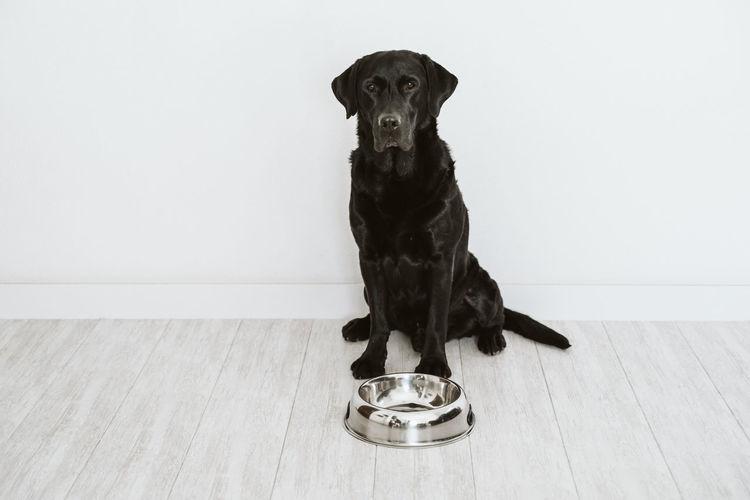 Portrait of dog against wall on hardwood floor