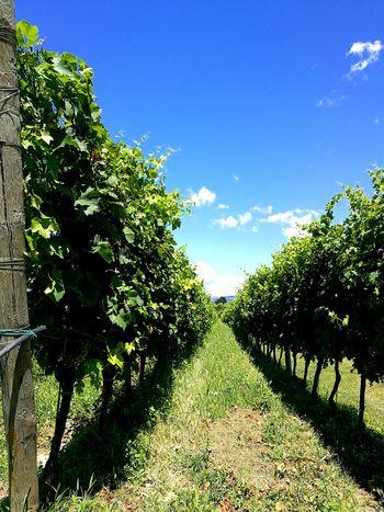 Wineyard Masi Lago Di Garda Italy EyeEm Nature Lover EyeEm Best Shots Summer