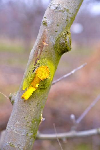 pruned and protected Agriculture Apple Orchard Apple Tree Bud Funghi Insecticide Pesticides Protection Pruned Trees Pruning Shears Secateurs Sprayer Yellow