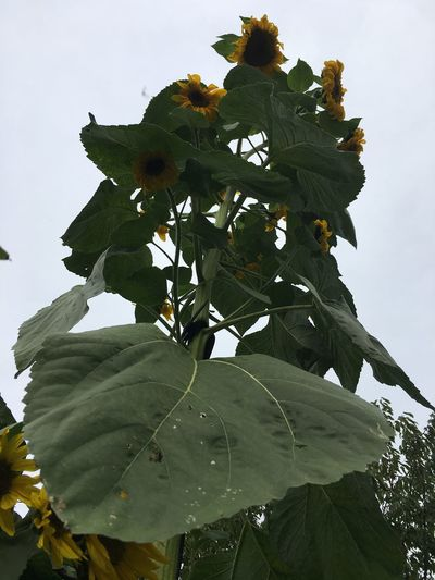 Sunflower XXXL Beauty In Nature Blooming Close-up Day Flower Flower Head Fragility Freshness Green Color Growth Leaf Low Angle View Nature No People Outdoors Plant Plants And Flowers Sky Sunflowers Tree