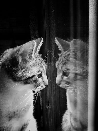 Cat with reflection looking through window