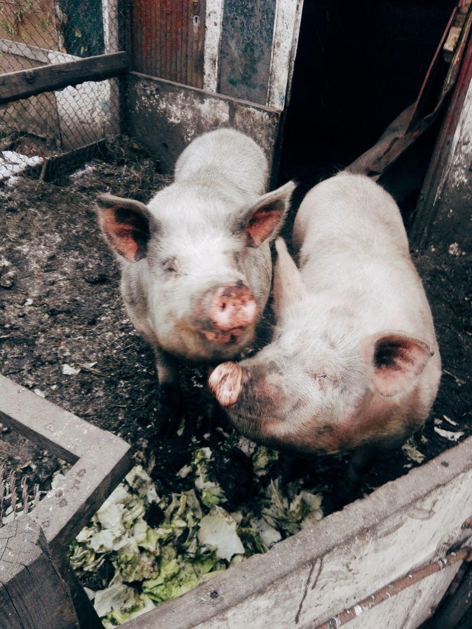 animal themes, pig, domestic animals, piglet, one animal, mammal, livestock, high angle view, day, young animal, no people, outdoors, looking at camera, pets, cute, close-up, portrait, nature