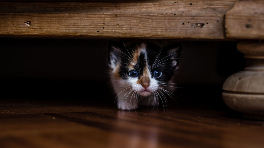 Animal Themes Creeping Dance Domestic Animals Domestic Cat Hunting Indoors  Kitten Kittens Looking At Camera One Animal Panther Pets Portrait Slinky