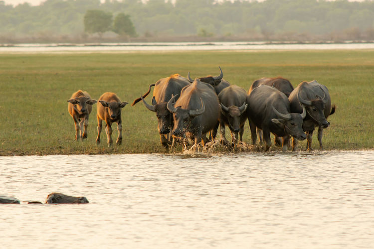 swamp buffalo in peat swamp around lagoon Buffalo Swamp Swimming Lake River Animal Animal Wildlife Sunlight Sunset Green Grass Eating Waterfront Group Of Animals Animals In The Wild Animal Themes Mammal Copy Space Mud Outdoors Farm Countryside Meadow Vertebrate No People Nature