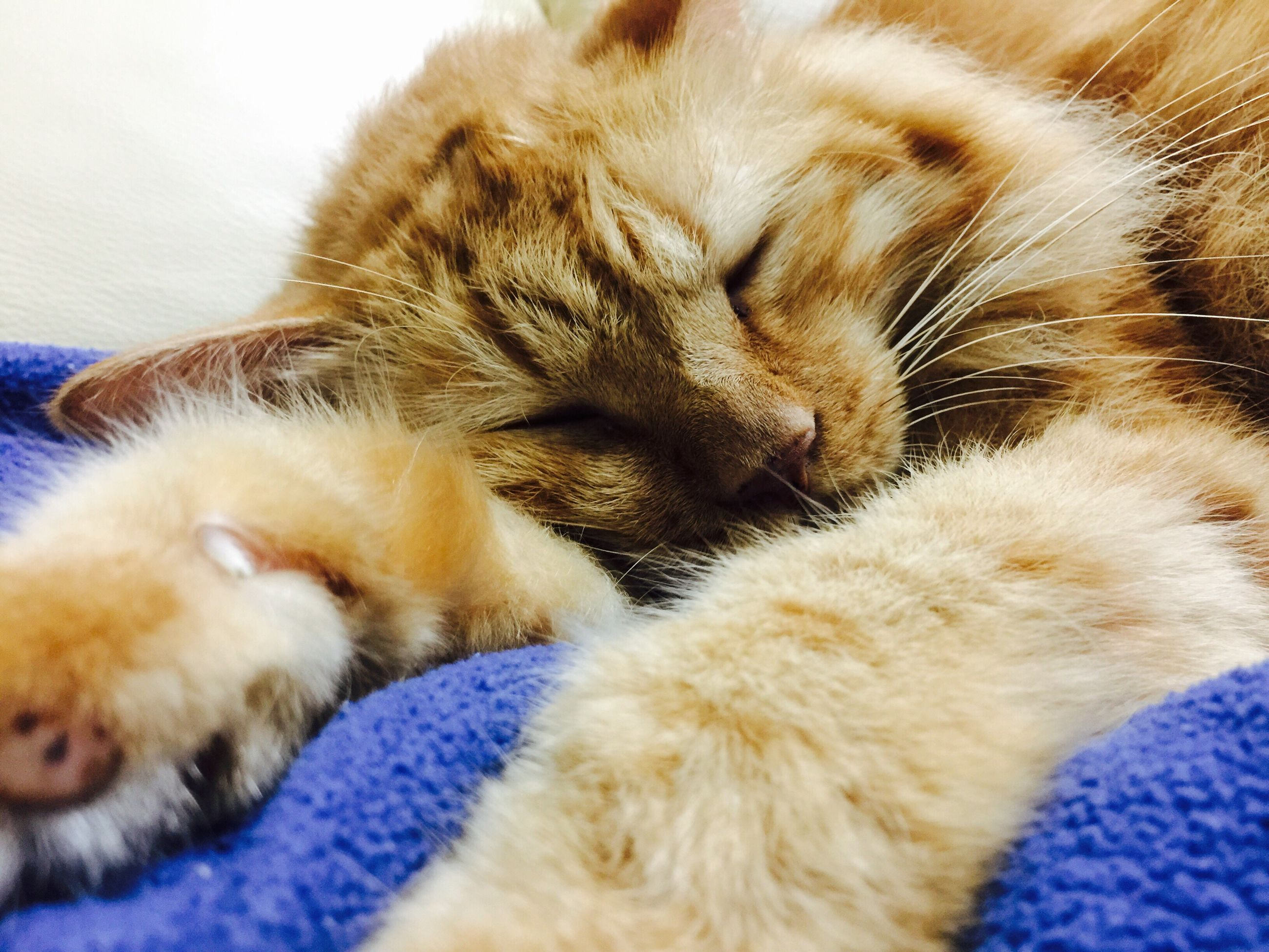 pets, domestic animals, one animal, animal themes, relaxation, domestic cat, mammal, indoors, sleeping, resting, bed, close-up, cat, feline, animal head, lying down, whisker, at home, zoology, focus on foreground, no people, animal behavior, laziness