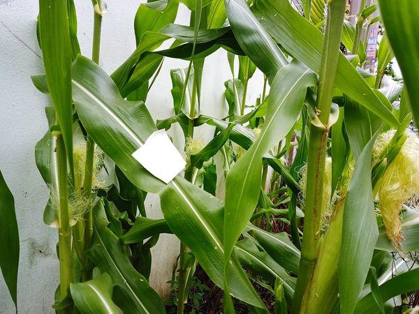 สวน ชาวสวน ปลูก ต้นไม้ ต้นไม้สวย Garden ข้าวโพด Sweed Corn Leaf Close-up Plant Green Color