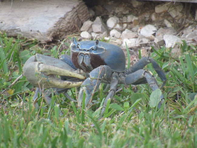 Blue crab Big Claws Fast Runners Fish Eater Green Grass No Edits No Filters Rocks Side Walker Small Eyes