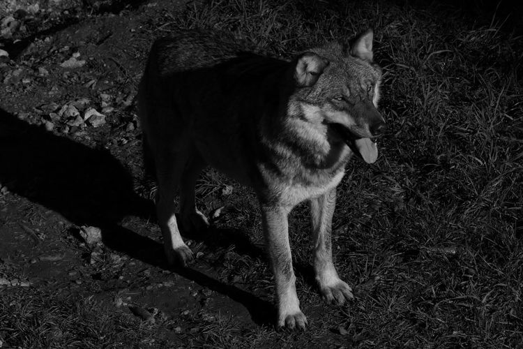 """Young Wolf"" Wolf Nature Animals Mistery Photography First Eyeem Photo Taking Photos Swiss Check This Out Enjoying Life Traveling Blackandwhite That's Me Followme Thankyou !"