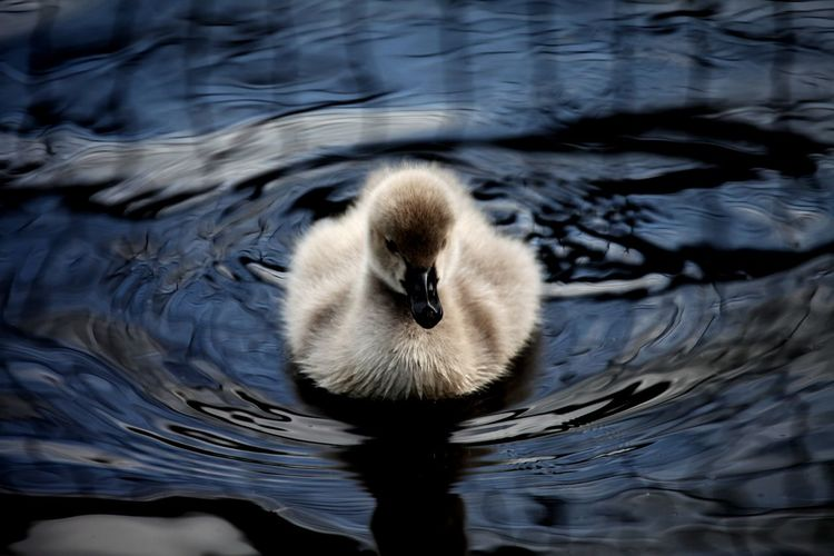 A single black swan chick showing just how fluffy it is
