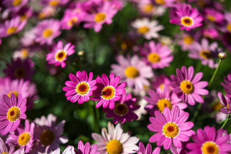 Strömforsin Ruukki Bright Nature Pink Plants Abundance Of Flowers Blooming Botany Chrysanthemum Colorful Coutryside Flowers Flowers Decoration Garden Meadow Outdoors Pyrethrum Summer Violet