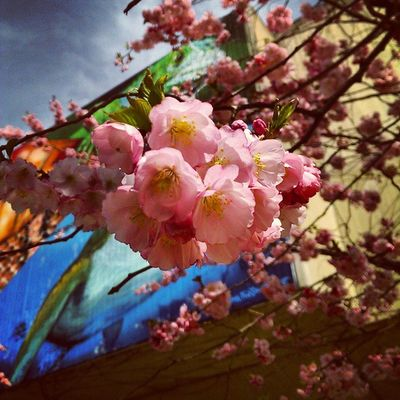 Season  Blossom Cherryblossoms Pink colors lights tree life refresh nature fall in love with spring instanature instagramhub instagood instadaily instalike