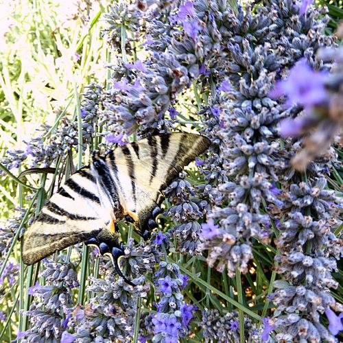 Italy🇮🇹 Moncalieri Nature Photography Butterfly Close Up Lavenderflower Lavender Colour Of Life, Taking You On My Journey 😎 A Lot Of Inspiration 📸 Fine Art Special👌shot No People Fine Art Photography Animals In The Wild Nature On Your Doorstep Garden Photography Gardendetails Purple Flower Romantic Freshness Fresh On Eyeem  Fresh And Fantastic