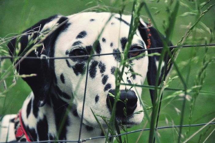 Dalmatian One Animal Dog Head Shot Portrait Of A Dog Nature Pets Domestic Animals Dog Face