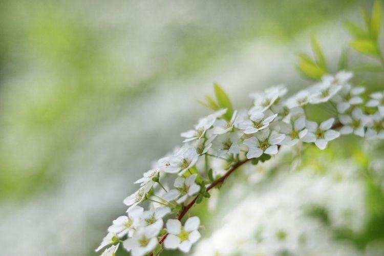 Japan 日本 Natural 自然 White Flower ゆきやなぎ Beautiful Flower 単焦点 Flower Head Flower Tree Branch Springtime Winter Blossom Scented White Color Botany