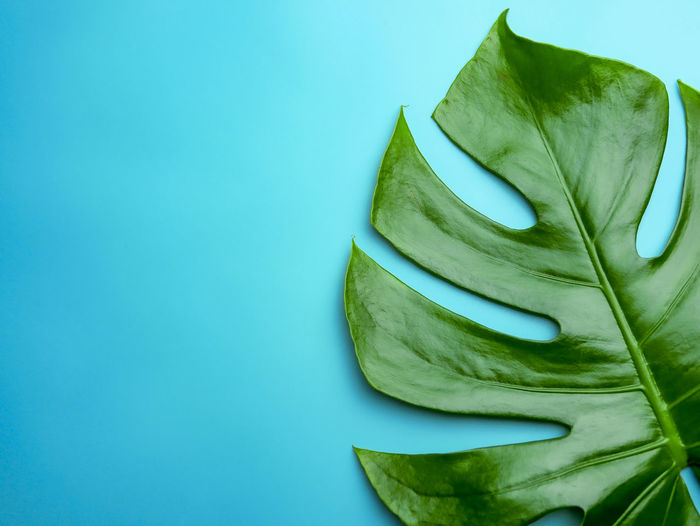big monstera leaf on blue space background for natural beauty concept Monstera Deliciosa Monstera Monstera Leaf Monstera Deliiciosa Blue Spruce Copy Space Natural Pattern Still Life Freshness Colored Background Green Color Leaf Wellbeing Natural Beauty ♡♥ Simple Beauty Cozy Place