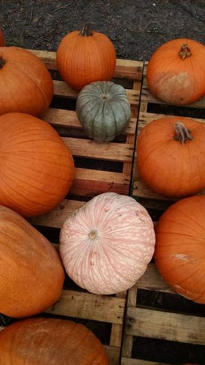 Pumpkin Vegetable Squash - Vegetable Halloween Fall Colors Orange Color Pumpkin Patch Beauty In Nature Harvest Thanksgiving Multi Colored Halloween Pumpkins Gourds Autumn Fall Agriculture Halloween