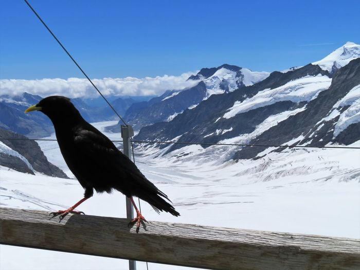 Funny Walk Away Alpine Chough Animal Themes Animals In The Wild Beauty In Nature Bird Chough Close-up Cold Temperature Full Length Glacier Jungfrau Mountain Mountain Range Nature No People One Animal Outdoors Perching Sky Snow Snowcapped Mountain Swiss Alps Switzerland