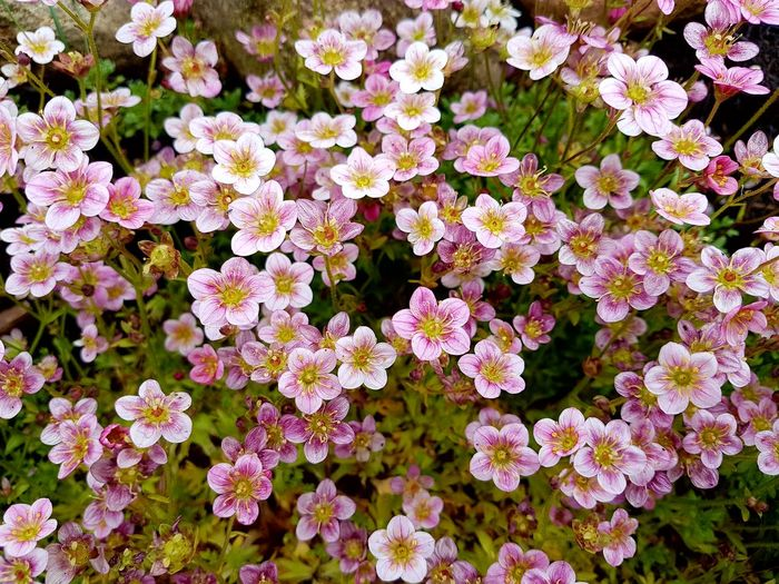 a Pillow of saxifraga- moossteinbrech Blümchen. Saxifragaceae Multi Colored Light Pink Flower Soft Tender Fragility Beauty In Nature Spring Flowers Flower Head Flower Full Frame Petal High Angle View Close-up Blooming Plant