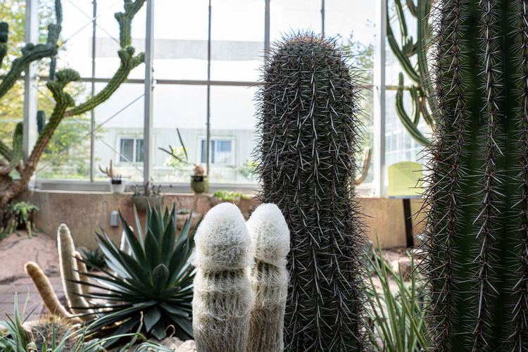 Close-up of cactus plant against window