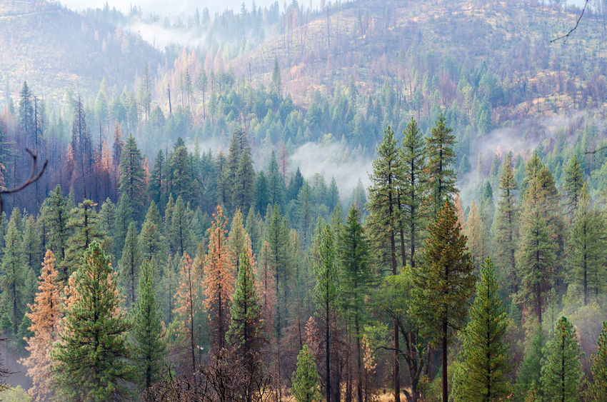 Yosemite National Park Beauty In Nature Day Forest Forest Fire Growth Nature No People Outdoors Pine Tree Tree Yosemite Valley Visual Creativity The Traveler - 2018 EyeEm Awards The Great Outdoors - 2018 EyeEm Awards A New Beginning