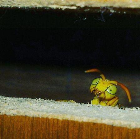 Macromood Wasp Yellow Animal Wildlife Wildlifephotography Eyes Aligarian Aligarhmuslimuniversity Naturelovers Nature_perfection