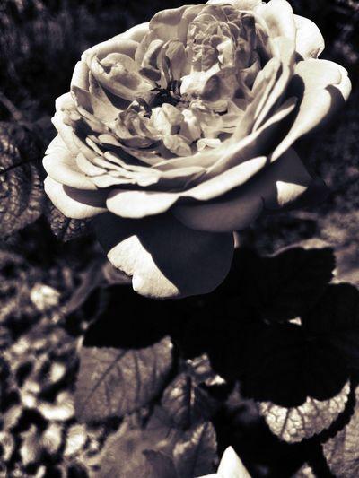 1st edit Flowers,Plants & Garden The Flowers Series In Between The Flowers~entre Las Flores Flowerporn EyeEm Nature Lover Roses NEM Black&white Blackandwhite Black&white Blancoynegro