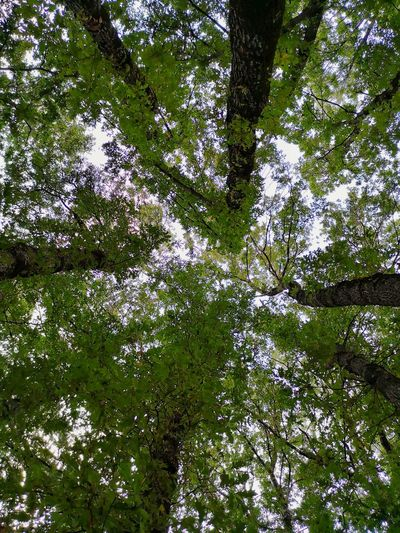 A full sky of trees... Landscape Sky Nature Life Italy Lights Wild Leaf Trees Forest Green Plants Minimal Alberi Foglie Natural Vegetazione Montain  Colors Sun Shadow Wildlife Tree Branch Backgrounds Full Frame Forest Close-up Green Color