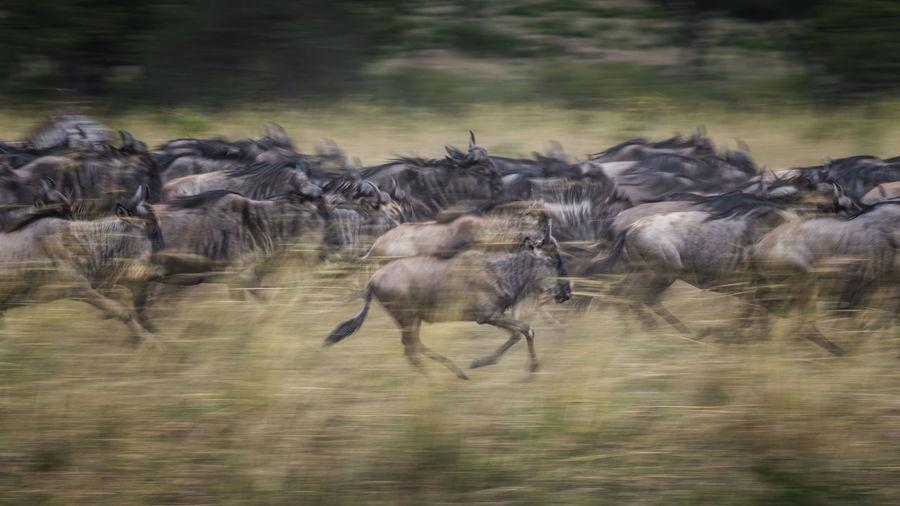 Flock of sheep running