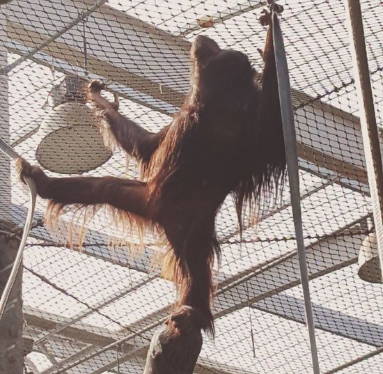 Mammal Animal Themes Cage One Animal Day No People Standing Chester Zoo Chester Photography Tranquil Scene Physical Geography Beauty In Nature Scenics Rock - Object Orangutan Orangutans Animal Zoology Zoo Zoo Animals