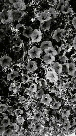 The flowers of nature are so beautiful even in black and white which captures the image of the beautyBeauty Redefined of Mother Nature. Poppies  Popular Photos Flowers Black And White Open Bloom