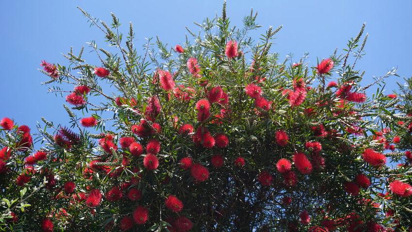 Bottlebrush Flower Flower Flower Head Tree Red Clear Sky Sky Close-up Plant In Bloom Pollen Petal Blooming Plant Life