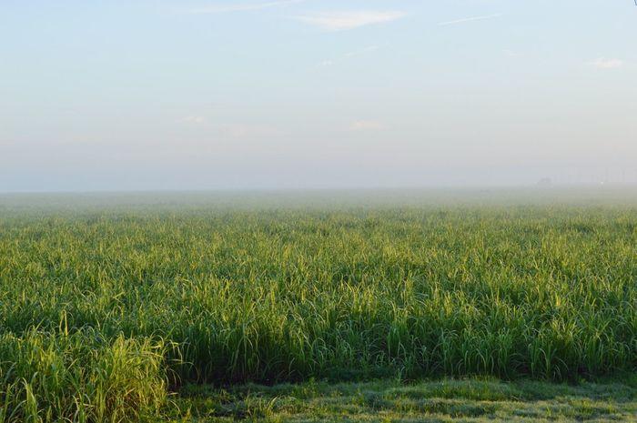 Fog on sugar cane.