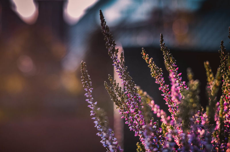Flower Flowering Plant Plant Beauty In Nature Growth Vulnerability  Freshness Fragility Close-up Focus On Foreground Nature Purple No People Day Selective Focus Flower Head Botany Inflorescence Petal Springtime Lavender Bunch Of Flowers Poland Sunday Kaszuby