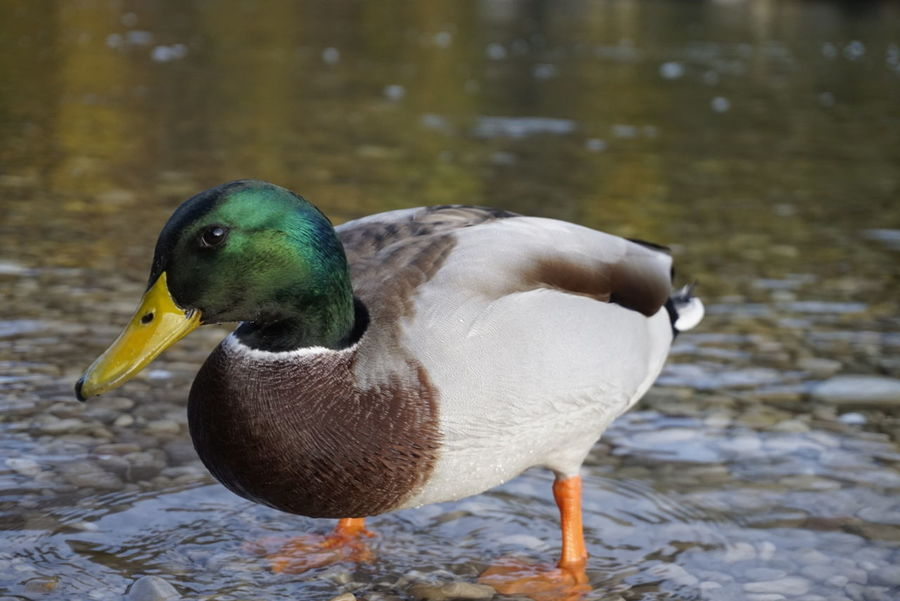 Bird Mallard Duck Duck Nature Water Beak Ententeich Ente Vogel First Eyeem Photo