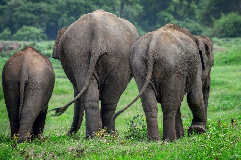 Rear view of three elephants walking