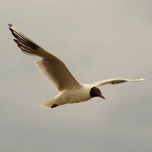 Slrattmås Birds Summertime Bird Spread Wings Flying Full Length Mid-air Close-up Animal Themes Sky Animal Wing Flapping Beak Black-headed Gull