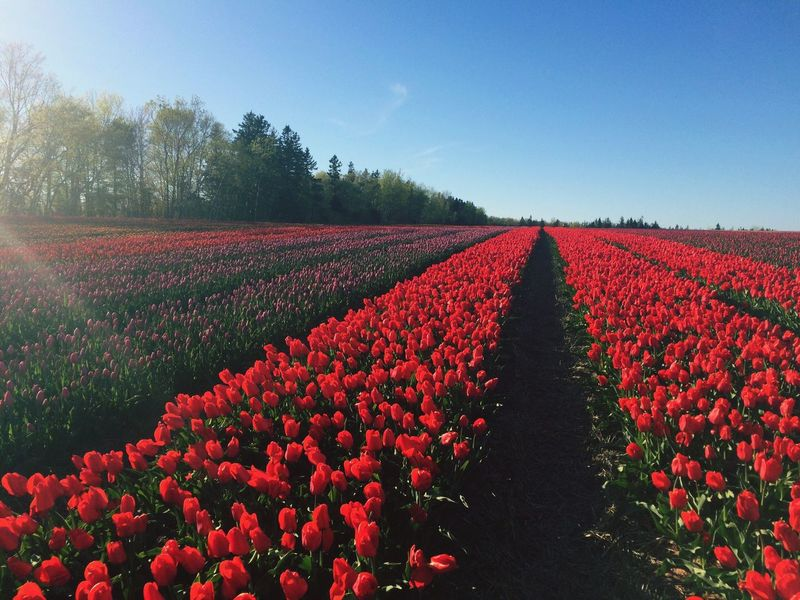 Growth Nature Agriculture Beauty In Nature Field Flower Landscape Red Rural Scene Tranquility Scenics Plant Outdoors Freshness Day No People Tree Clear Sky Fragility Sky