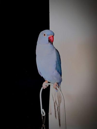 Viola Bird