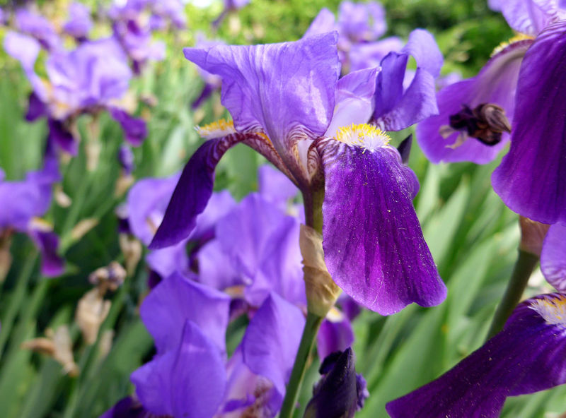 Beauty In Nature Blossom Close-up Flower Flower Head Flowering Plant Focus On Foreground Iridaceae Iris - Plant Nature Purple