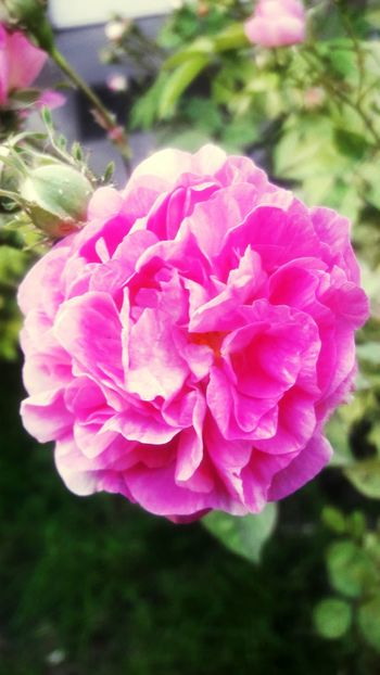 Flower Nature Pink Color Plant Beauty In Nature No People Rose - Flower Day