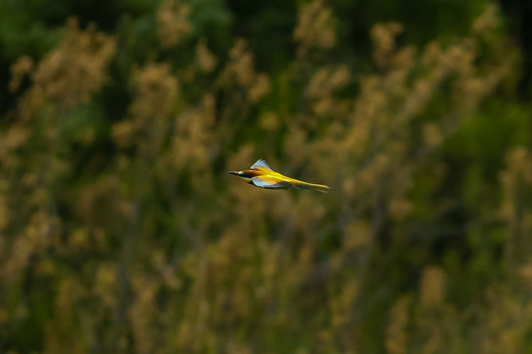 Animal Themes Animals In The Wild Bee-eater Bird Photography Bird With Vibrant Colors Birds With Red Eyes European Bee-eater European Birds Nature Nature Photography No People Western Palearctic Wildlife & Nature Wildlife Photography