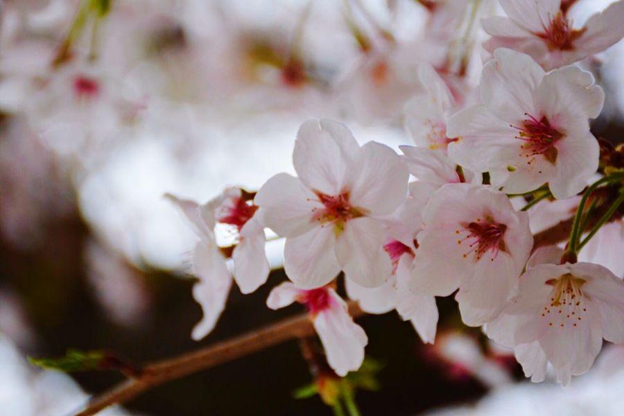 天気悪かったなぁ〜 Nature_collection Naturelovers EyeEm Nature Lover Cherry Blossoms 桜 Flowers Spring Cherry Cherryblossom EyeEm Best Shots