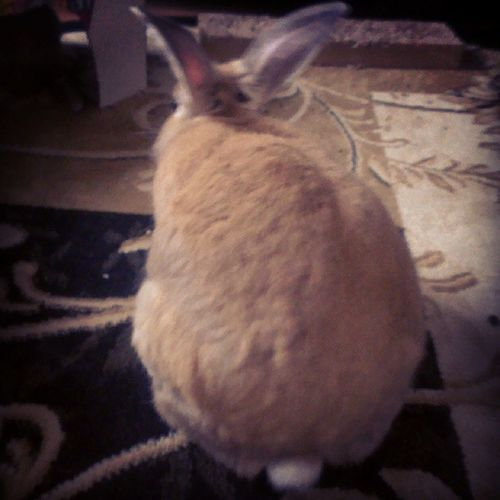 Mrhopkins has a big Bunnybum Bunniesofinstagram Bunnymama bunnies bunnylove bunnygram