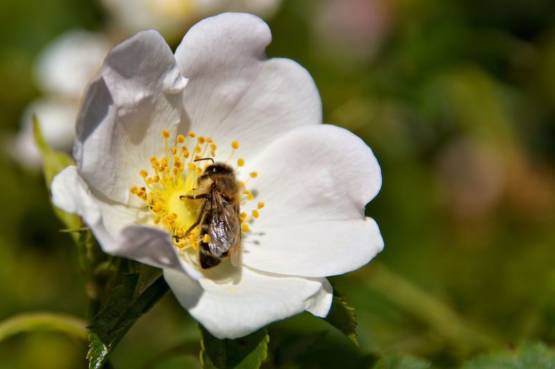 Close-up of bee on white flowering plant
