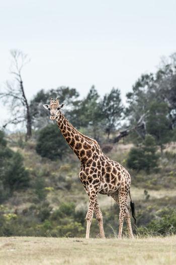 Animal Wildlife Animal Animals In The Wild Animal Themes Mammal One Animal Safari Vertebrate Giraffe No People Nature Environment Herbivorous