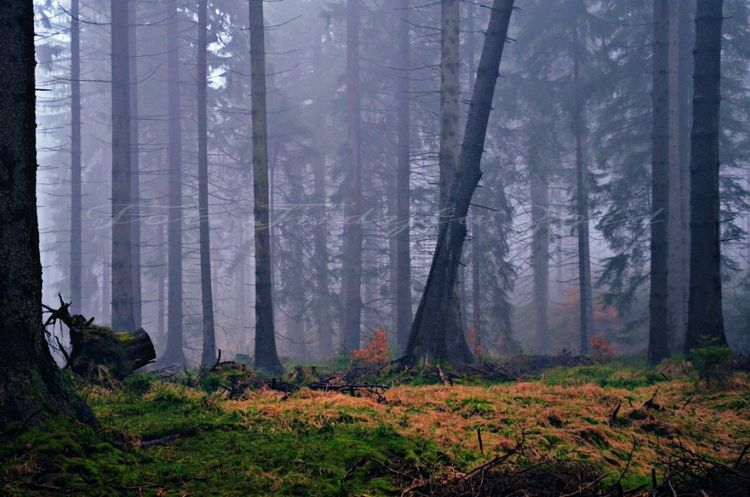 Forest Tree Nature WoodLand Landscape Plant Beauty In Nature Fog Outdoors Natura Poland Photography Foto Wiosnawgórach Przyroda Szklarska Poręba Drzewa Las Spring Wiosna Mgła Gory Mountains Nationalgeographic Foto